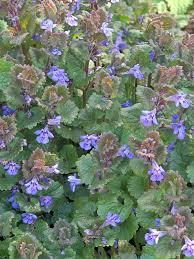 Glechoma hederacea - Wikipedia