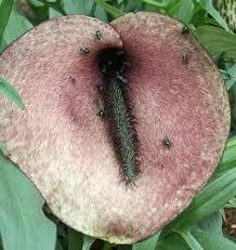 Helicodiceros muscivorus   Pig Butt Arum for sale $22.00   Plant ...