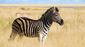 essay zebra Cloud Seven Kenya Safaris