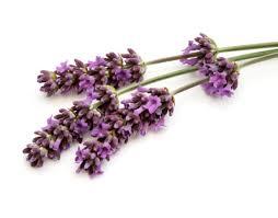 Lavender Herbal Plant