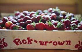 Pick Your Own Strawberries – Strawberry Plants . org