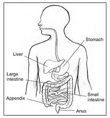 images of digestive system simple diagram   diagramsimages of simple diagram of digestive system diagrams