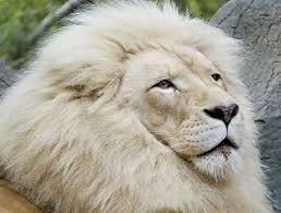 les lions blanc Images?q=tbn:ANd9GcQV1EpVB3lcCVEw_hSKFQWty2chf8wPvpcMFkhMXjmpdPS54Awr