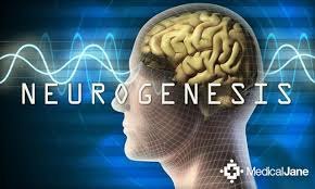Resultat d'imatges de neurogenesis in the brain