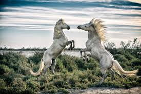 Image result for camargue horses paintings
