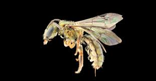 These newly discovered iridescent <b>bees</b> are already at risk of ...
