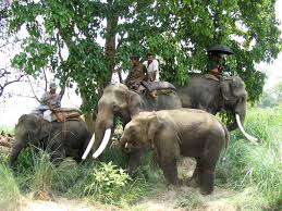 reading tools elephant team returning from morning grass cutting 1mb 3 mahut climbs simal tree to cut branches for elephant food 532kb