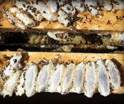 Image result for Images of wax moth in beehives