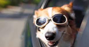 dog vehicle