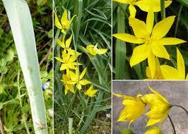 Tulipa sylvestris L. - Sistema informativo sulla flora vascolare dei ...
