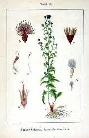 Serratula tinctoria - Wikipedia, la enciclopedia libre