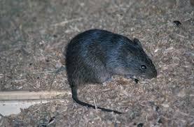 """Résultat de recherche d'images pour """"rat"""""""