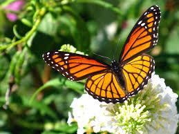 Bloque VI. Área protegida (bosque de la mariposa monarca) Images?q=tbn:ANd9GcQVzxuruFubHeC7EGFUbv9foTpW0c2Oj7brg3F24tbspvaYuDb9