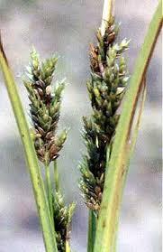 Cyperus schweinitzii - Online Virtual Flora of Wisconsin