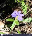 family goodeniaceae