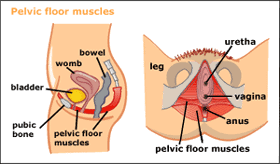 Image result for image pelvic floor muscles