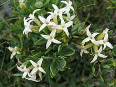 Daphne oleoides PFAF Plant Database