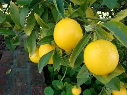 اهم فوائد الليمون ، اهمية الليمون للصحة