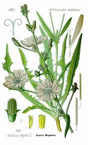 Chicory - Wikipedia
