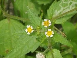 Galinsoga ciliata - Wikipedia