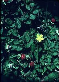 Duchesnea indica - Online Virtual Flora of Wisconsin