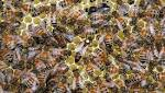 Bees make the most of warm summer to deliver boost to honey crop