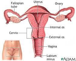 """"""" cervix uteri"""" ile ilgili görsel sonucu"""