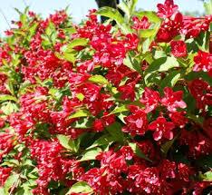 Image result for red weigela