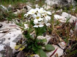 Ionopsidium savianum (Caruel) Arcang. - Portale della Flora d'Italia ...