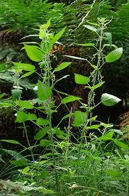 Urtica dioica Calflora