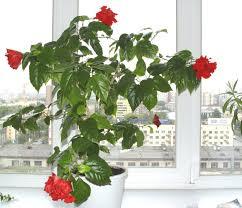 <b>Гибискус каркаде</b> - описание и ценность <b>цветка</b>, правила ...