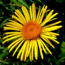 Inula salicina (willow-leaved yellowhead): Go Botany