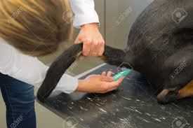 vet is temping a big dog stock photo picture and royalty stock photo vet is temping a big dog