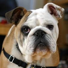 animal welfare and pets understanding animal research image upload org commons 1 13 clyde the bulldog jpg