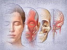 The Head: Muscles, Skull, Brain - 14576W
