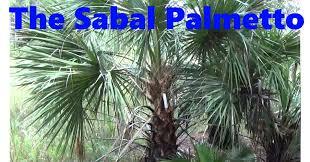 The Sabal Palmetto! - YouTube