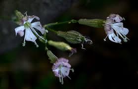 Silene italica ssp sicula, silene sicula