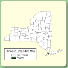 Scolymus hispanicus - Species Page - NYFA: New York Flora Atlas