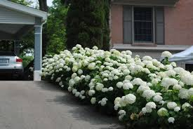 Image result for snowhill hydrangea