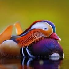 Image result for mandarin duck pics
