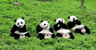 What It's Like to Care for History-Making Pandas in China | <b>Time</b>