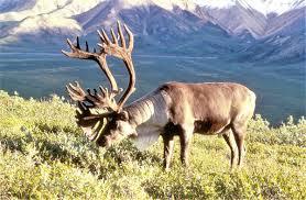 <b>reindeer</b> - Wiktionary