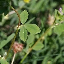 Trifolium resupinatum (Persian clover): Go Botany