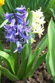 Hyacinthus orientalis - Wikipedia
