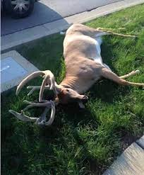 monstrous ohio buck known as bosa killed by vehicle deer deer monstrous ohio buck known as bosa killed by vehicle deer deer hunting whitetail deer hunting tips