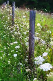 best ideas about country fences rustic fence old fencing queen ann s lace or wild carrot pull a healthy speciman and smell