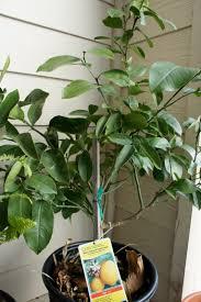 lemon tree x: meyer improved dwarf lemon tree full sun  hours of direct sunlight water usage semi moist bloom time spring spacing   growth rate medium