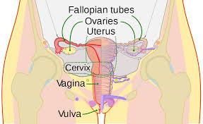 <b>Vagina</b> - Wikipedia