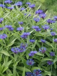 Centaurea Montana -- Bluestone Perennials