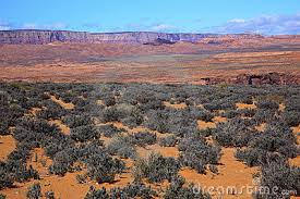 Image result for sagebrush